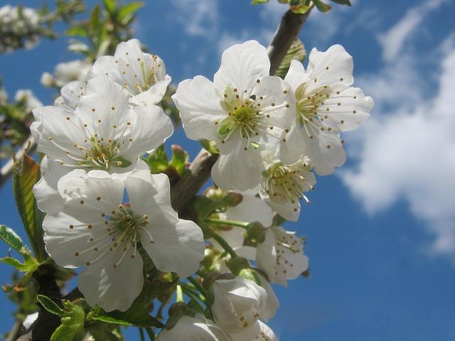 Free cherry blossom flower white sunny spring tree