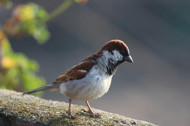 Free sparrow bird house sparrow birds