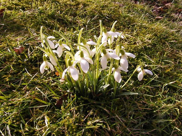 Free snowdrop spring march flower signs of spring