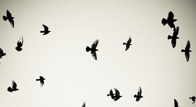 Free birds pigeons flying sky freedom air fly clouds