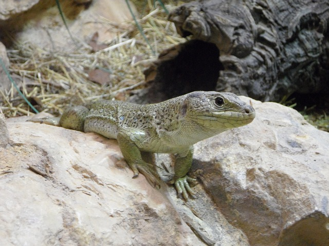 Free Photos: Lizard reptile animal terrarium zoo steinig | M W