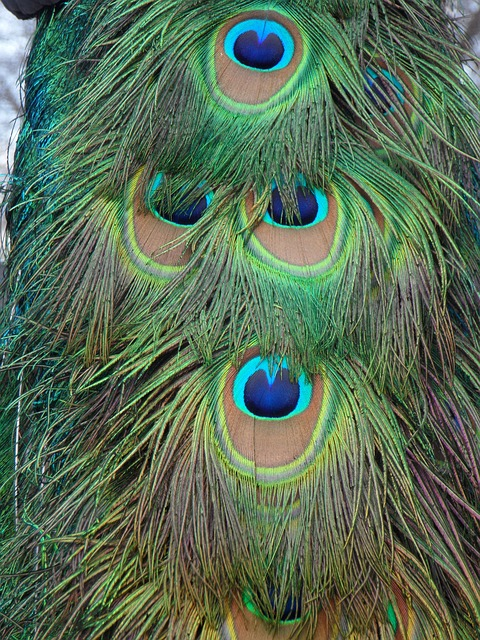 Free peacock peacock feathers feather bird close