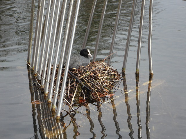 Free coot nest breed swim water waterfowl ralle cage