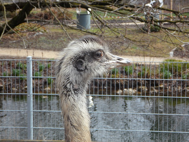 Free rhea bird cheeky bird flightless bird bill head