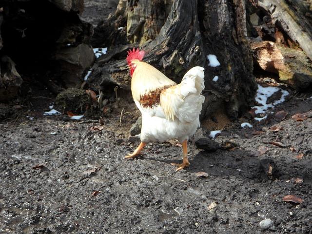 Free hahn run away bird poultry farm chicken