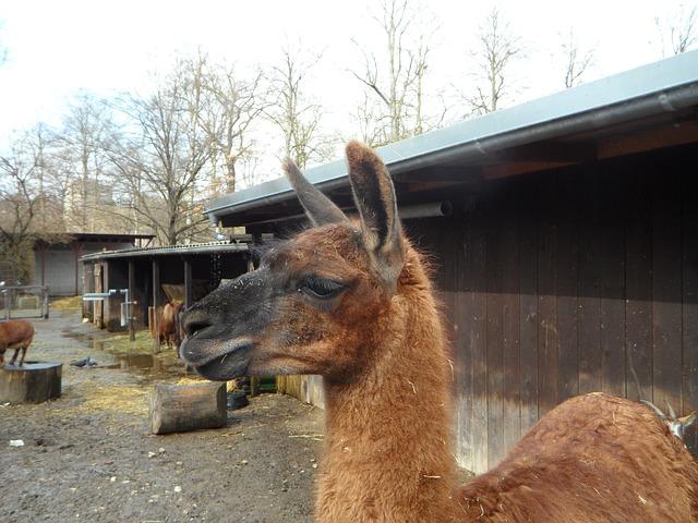 Free lama animal zoo petting zoo attention face