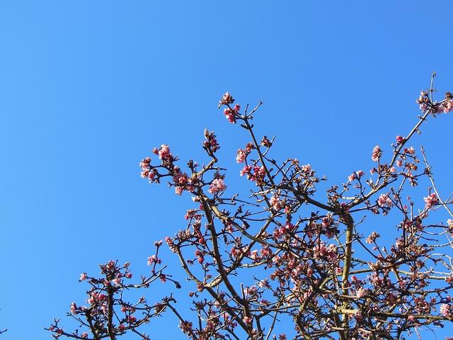 Free emperor shrub virburnum farreri winter flowering