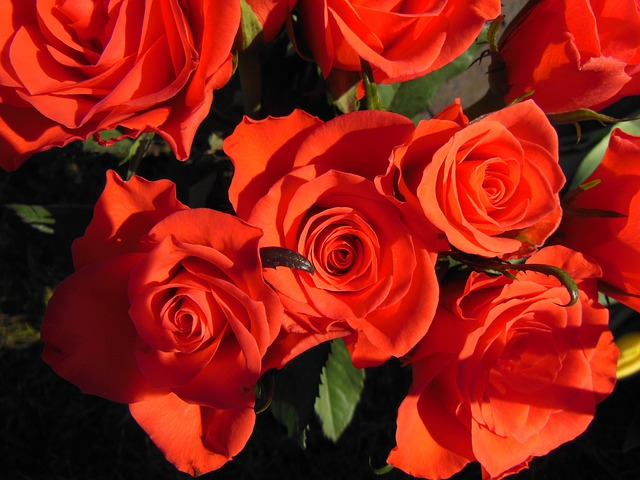 Free plants roses red roses close-up beautiful warm