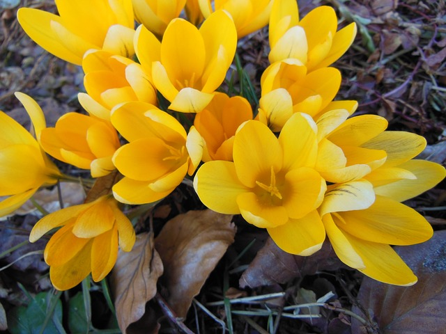 Free withered foliage yellow crocus harbingers of spring