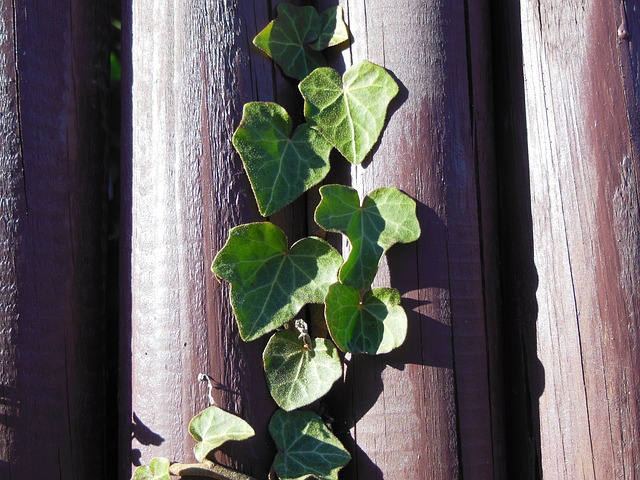 Free plant green plant climbing plant ivy haired green