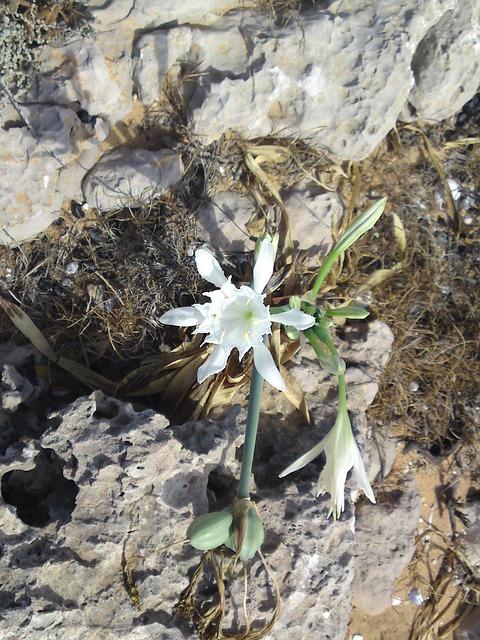 Free flower white nature spring karg rocky coast