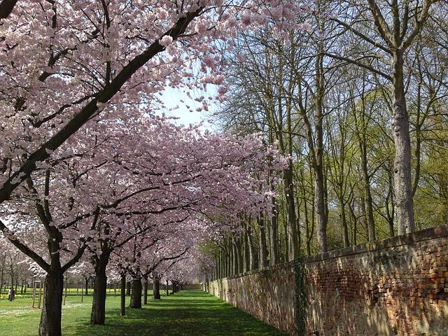 Free cherry blossom schlossgarten landscape nature