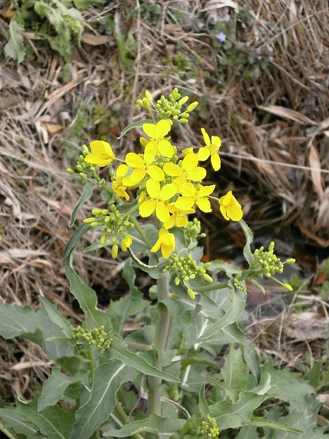 Free cruciferous vegetable yellow spring by the river