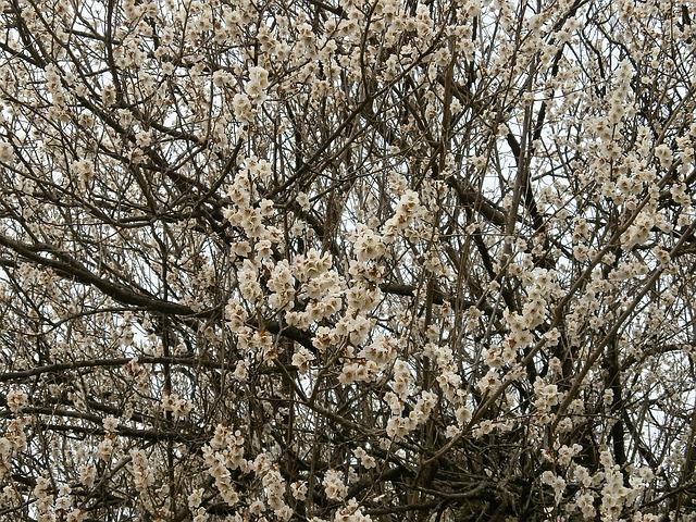 Free plum plum blossoms white flowers spring