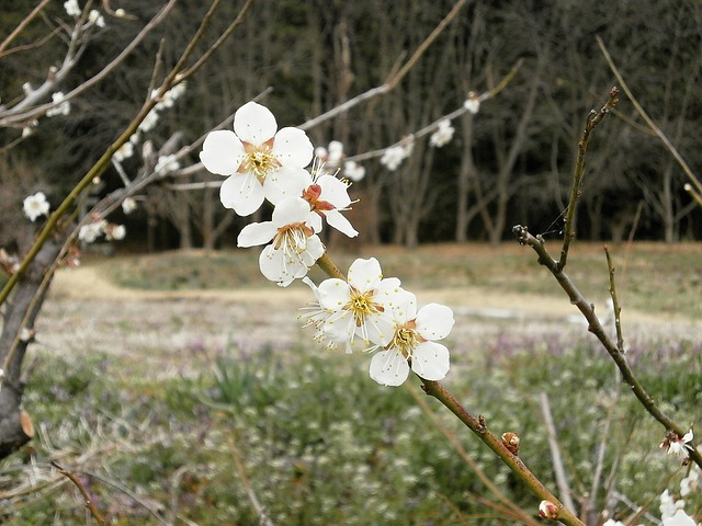 Free plum plum blossoms spring white flowers