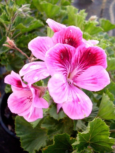 Free purple flower geranium flowers violet purple