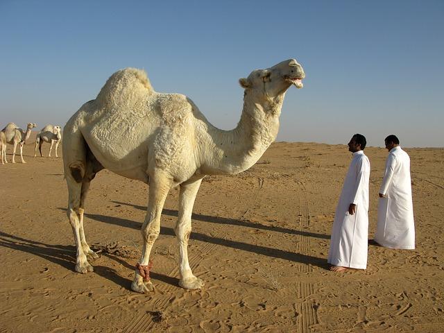 Free Photos: Saudi arabia desert camel | Wolfgang Inderwies