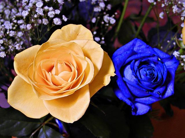 Free blue yellow rose flower love beautiful nature
