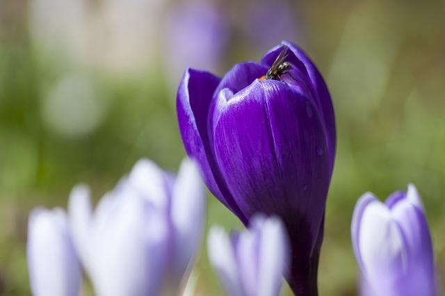 Free crocus schwertliliengewaechs spring crocus flowers