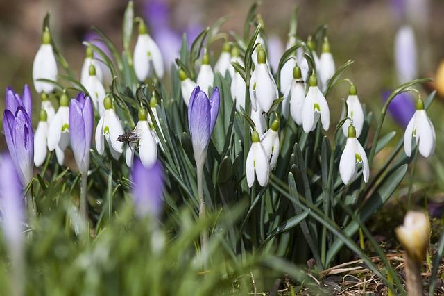 Free crocus schwertliliengewaechs spring crocus snowdrop