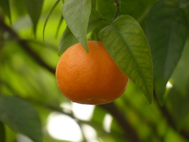 Free mandarin fruit tree healthy citrus fruit