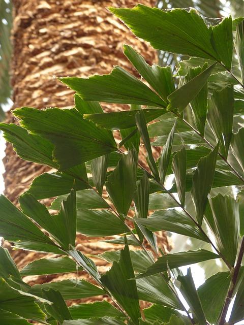 Free leaves palm frayed irregular fishtail palm