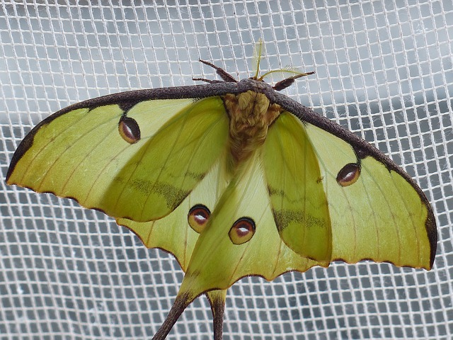 Free comet moth butterfly large eyespots points eyes