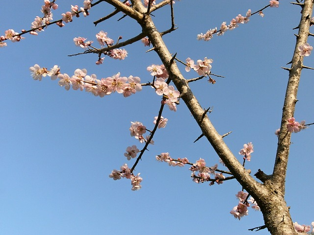 Free plum plum blossoms pink arboretum spring