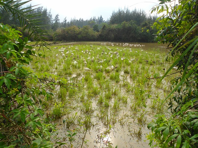 Free hainan china geese birds free range wildlife pond