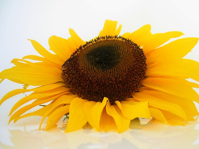 Free sun flower flowers helianthus sun yellow plant