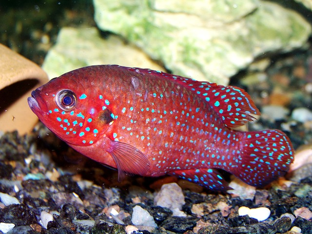 Free animals zoo fish hromis handsome