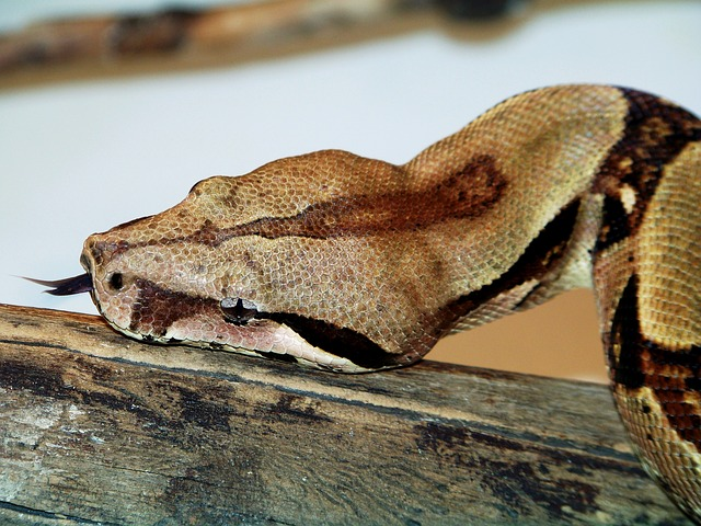Free animals zoo boa constrictor snake