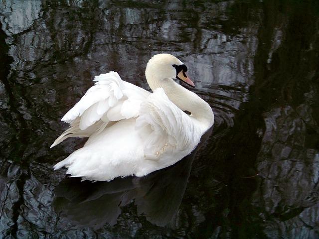 Free animals zoo swan white swan