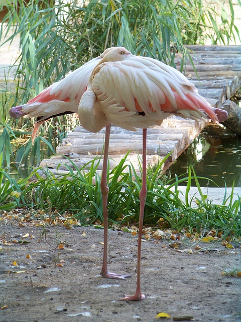Free animals zoo flamingo pink flamingo bird