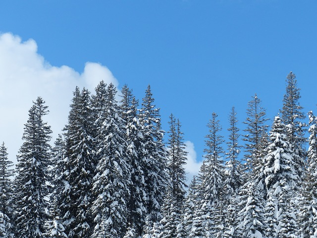 Free Photos: Fir firs trees snowy winter snow sky | Hans Braxmeier