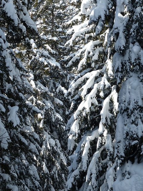 Free fir firs trees snowy winter snow wintry
