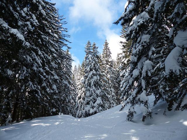 Free fir firs trees snowy winter snow sky