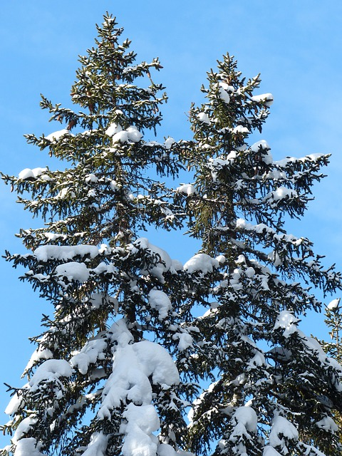 Free fir firs trees snowy winter snow sky