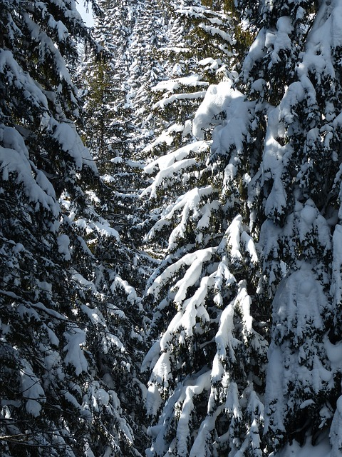 Free Photos: Fir firs trees snowy winter snow wintry | Hans Braxmeier