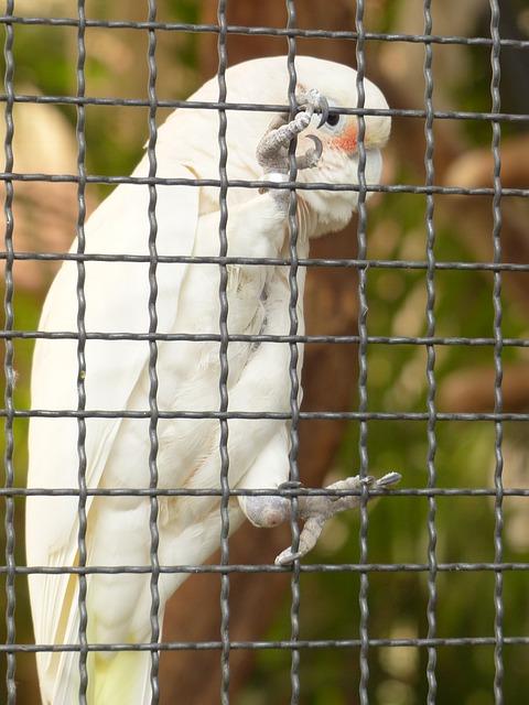 Free goffins cockatoo cacatua goffiniana cockatoo
