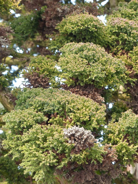 Free japanese sicheltanne cryptomeria japonica bandai sugi