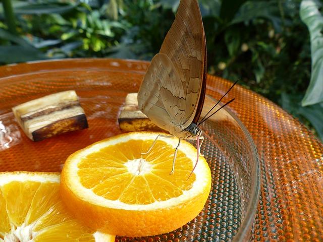Free butterfly feeding sugar water orange slices oranges
