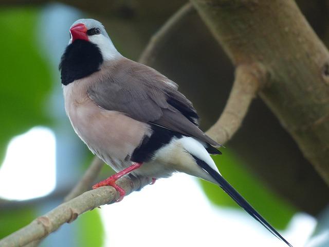 Free spitzschwanzamadine bird poephila acuticauda