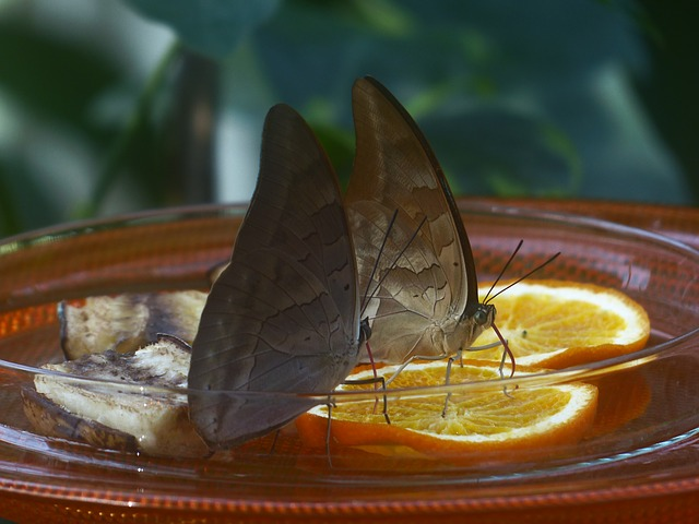 Free butterflies feeding sugar water orange slices