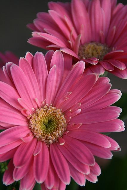 Free gerbera daisy pink daisy flower blossom gerberas