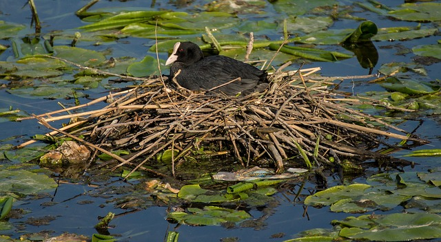 Free eurasian coot bird fowl nest pond lake water