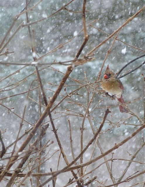 Free bird cardinal female snow winter outside