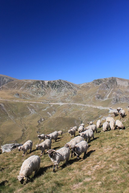 Free flock sheep mountain romania animals roads travel