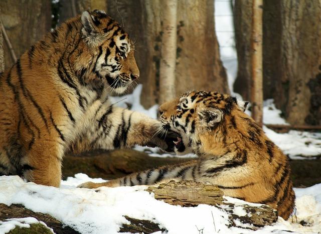 Free tiger snow cat young animal predator pets
