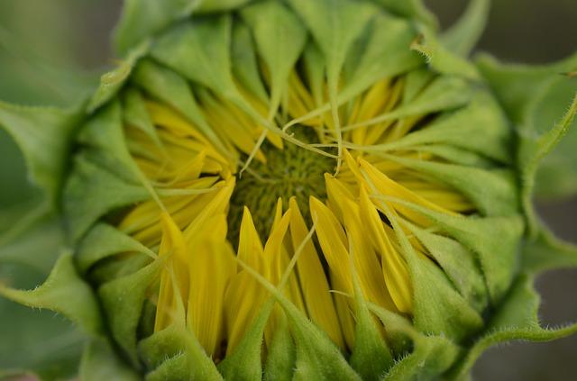 Free sun flower herbal oils vegetarian yellow flower